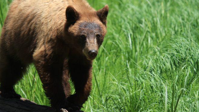 Sēlijā Bebrenes pagastā nofilmēts skrienošs brūnais lācis